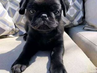 teacup pug for adoption