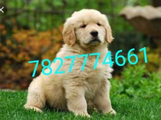 Golden retriever puppies available for sell whatsapp and contact me 7827774661