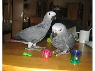 AFRICAN GREW PARROTS FOR ADOPTION