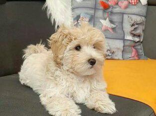 Westiepoo puppy