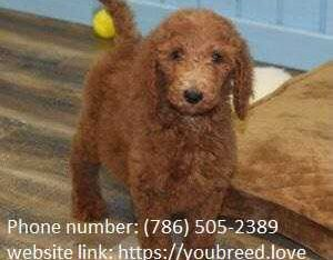 Sweet teacups poodle available for new year