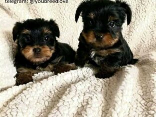 teacups Yorkie puppies available for new year