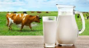 Pregnant Cow Holstein Livestock Cattle Heifers