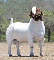 Best Live Boer Goats, Nubian Angora Goats, Sheep and Pregnant Cows