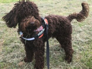 Stunning cockapoo stud for a beautiful home