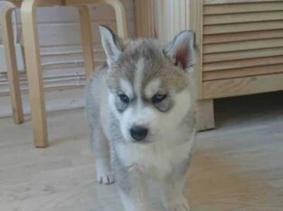 Husky puppy ready for adoption