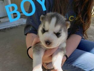 Huskies available