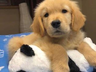 Cute golden retriever puppies ready for rehoming