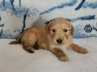 Golden Retriever puppy for sale in Denmark