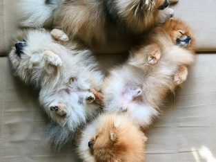 available spitz puppies
