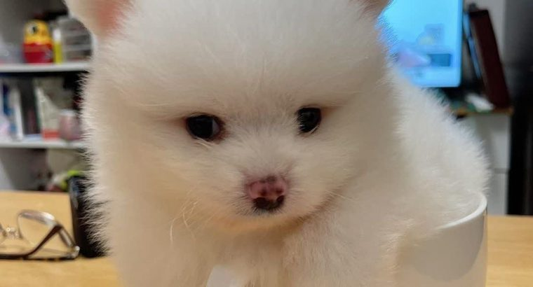 Male and female pomeranian puppy ready for a new home