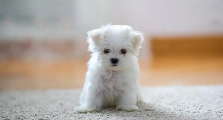 cavapo puppy