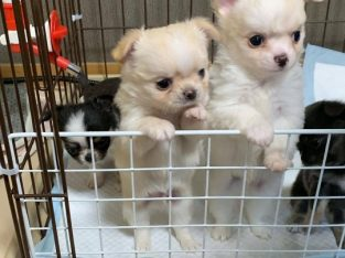 Beautiful charming mini Chihuahua puppies