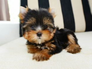 Affordable home train teacup yorkie puppies
