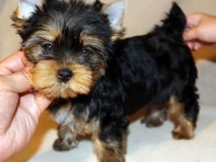 Healthy Party Teacup yorkie puppies r