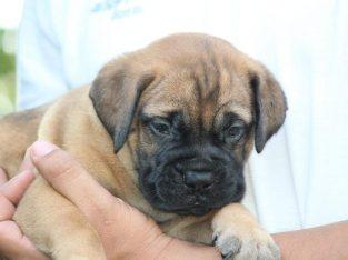Heavy bone active English mastiff puppies… 7300930479