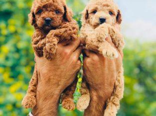 Cutie pie Poodle puppies available… 7300930479