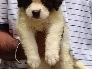 Show quality lovely Saint Bernard puppies available.. 7300930479