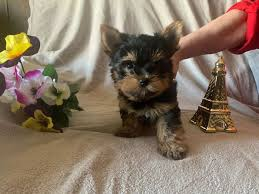 Awesome Teacup Yorkie Pups
