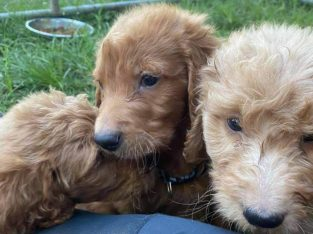Adorable Cockerspaniels Puppies For Adoption