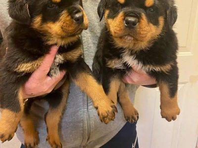 rottwailer puppies for sale